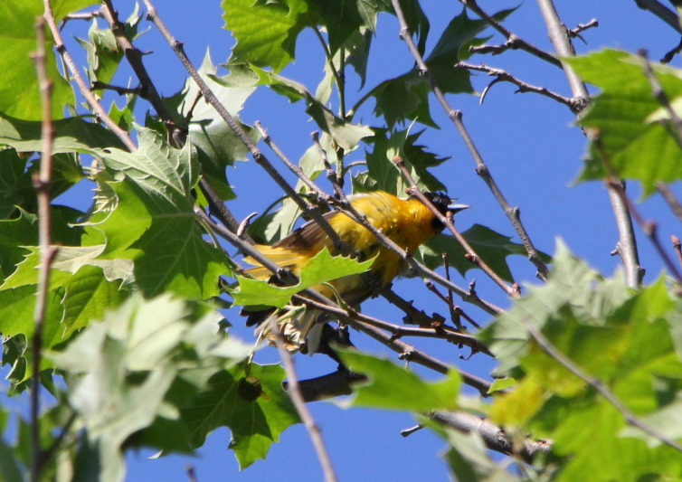 Yearling male Baltimore oriole