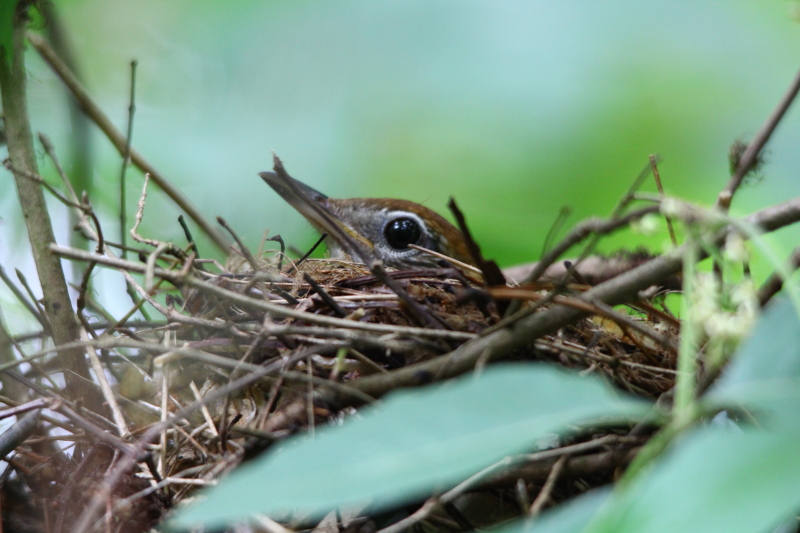 Hermit thrush on its nest