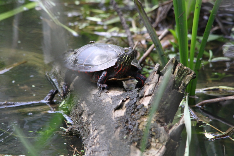 Painted turtle