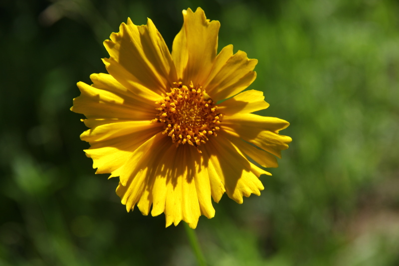 Yellow aster???