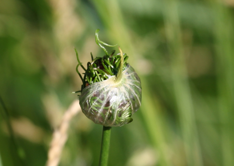 Garlic flower?