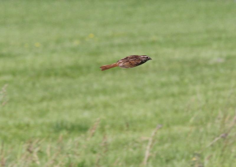 Song sparrow in flight