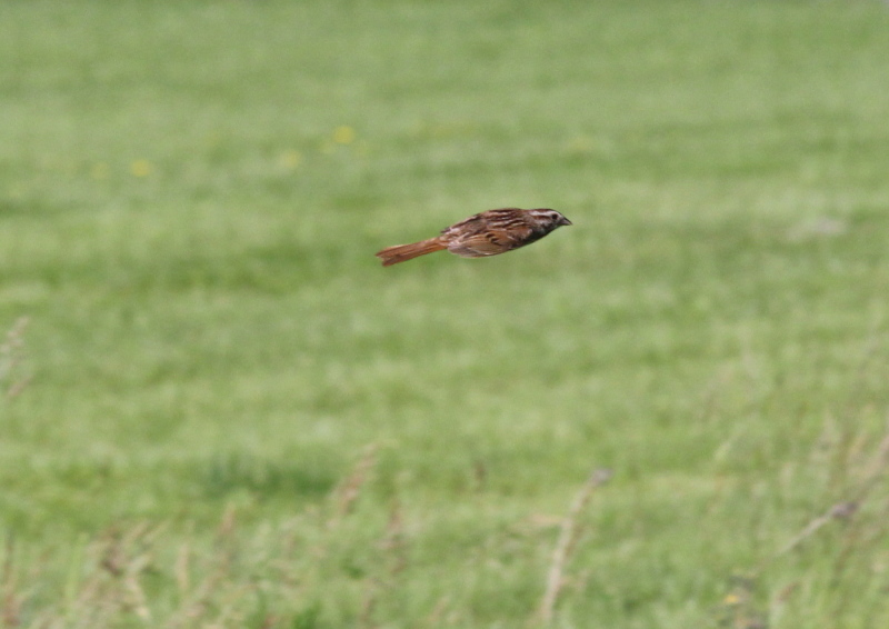 Song sparrow in flight