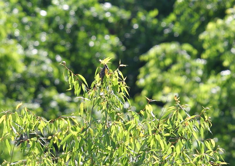 Alder flycatcher hiding