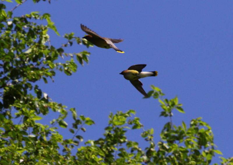 Cedar waxwings in flight