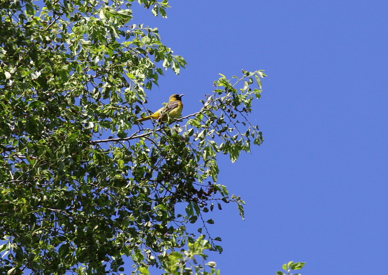 Immature male orchard oriole singing