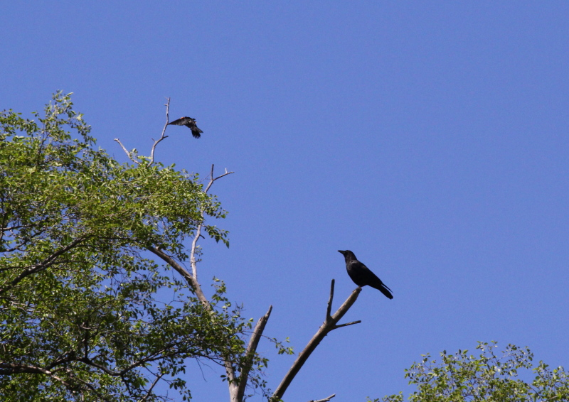 Red-winged blackbird attacking a crow