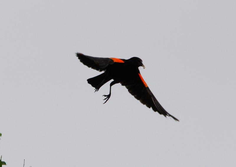 Male red-winged blackbird in flight