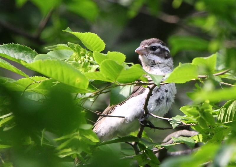 Juvenile rose-breasted grosbeak
