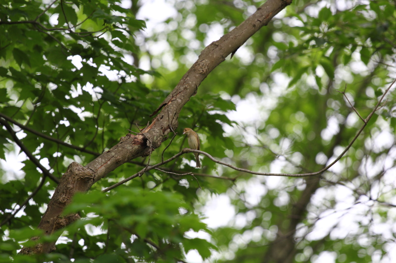 Female indigo bunting