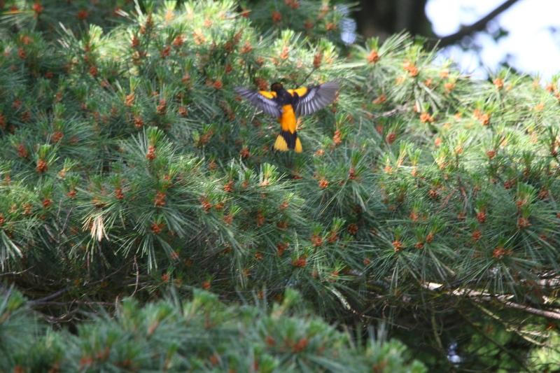 Male Baltimore oriole in flight