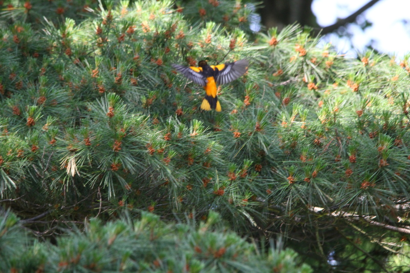 Male Baltimore oriole in flight