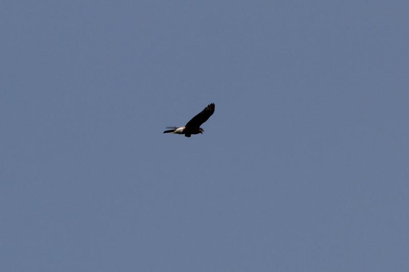 Marsh hawk in flight
