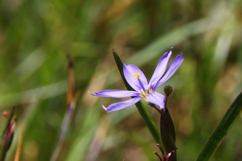 Atlantic blue-eyed grass