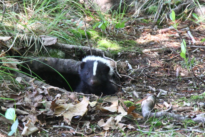 Skunk emerging from its den