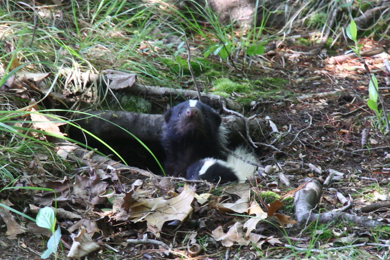Skunks emerging from their den