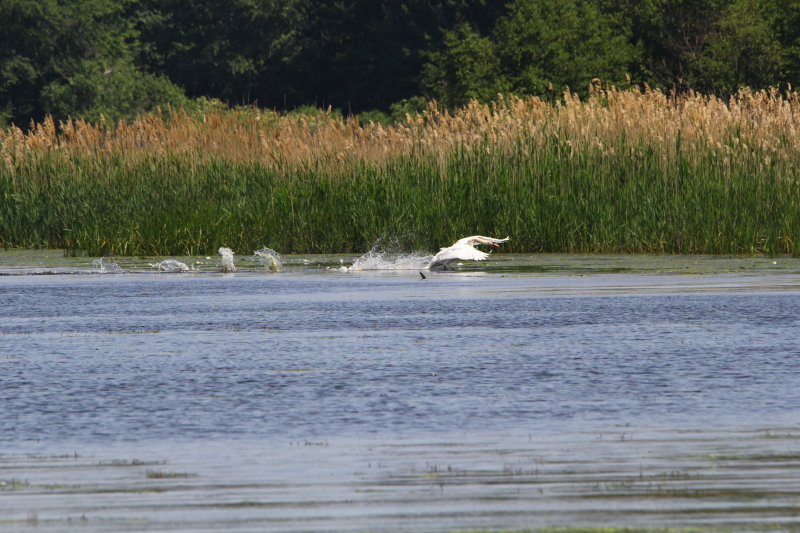 Male mute swan in action