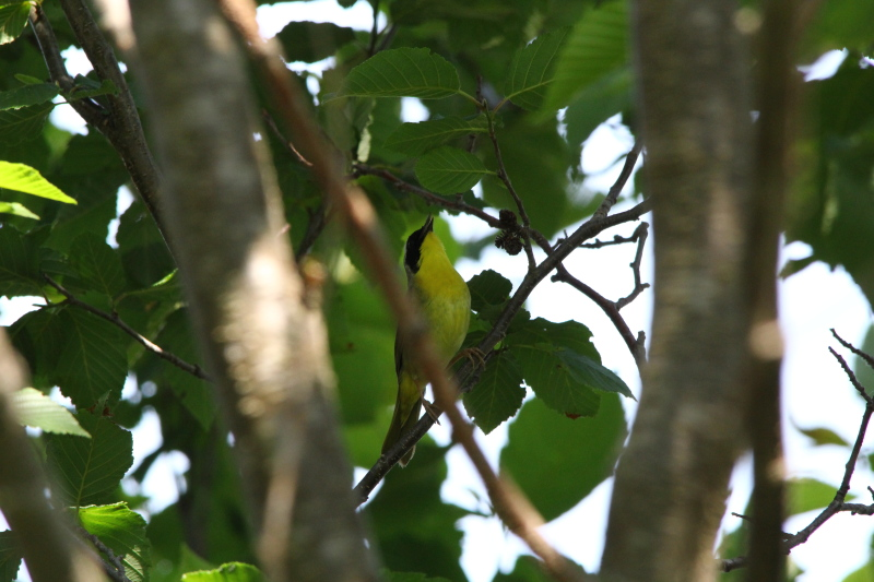 Common yellowthroat singing