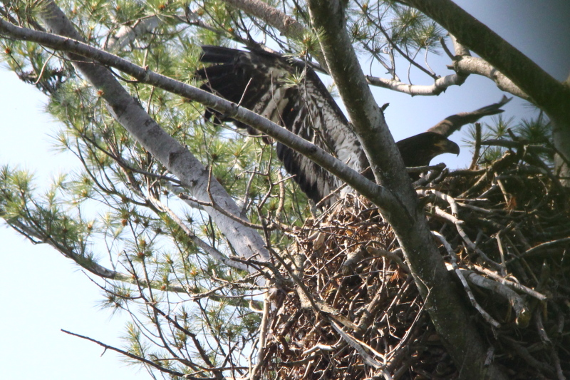Eaglet stretching its wings