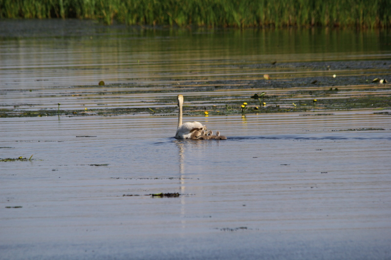 Female mute swan and cygnets