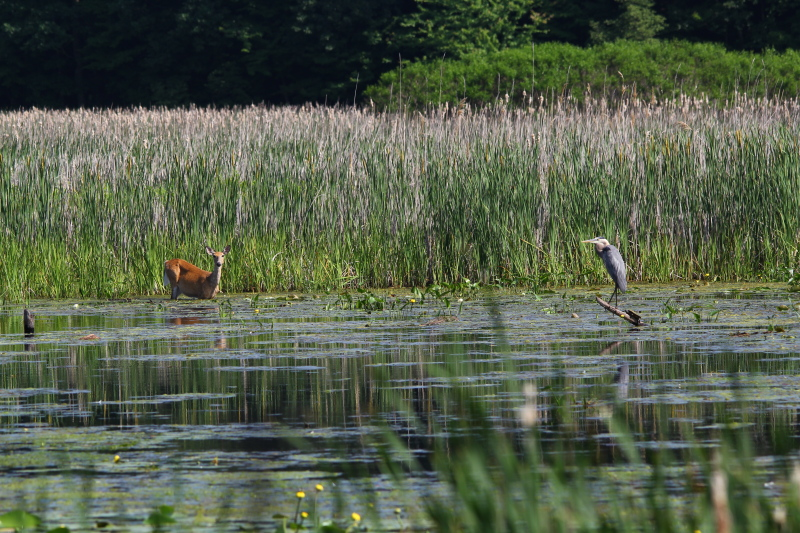 Whitetail deer and great blue heron