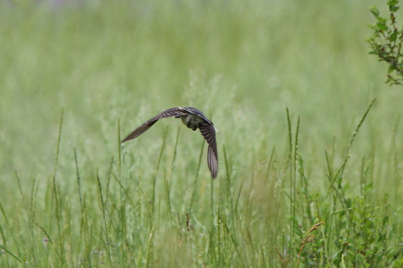 Eastern kingbird's butt in flight