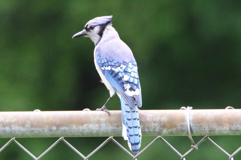 Overexposed bluejay, sorry