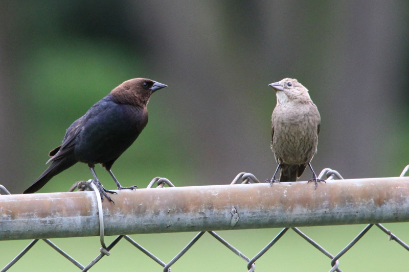 Brown headed cowbirds in love