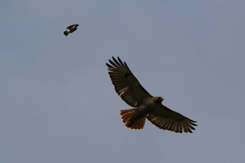 Kingbird attacking a red-tailed hawk