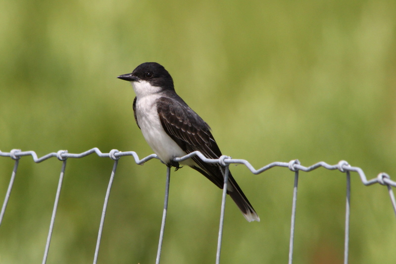Eastern kingbird not hawk surfing