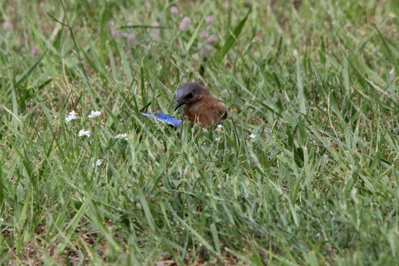 Female eastern bluebird intently looking for an insect that had escaped her