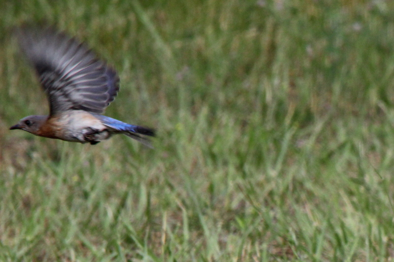 Female eastern bluebird in flight
