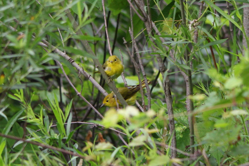 Female yellow warbler and young one