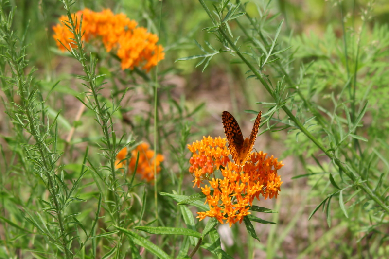 Orange wildflower and Butterfly