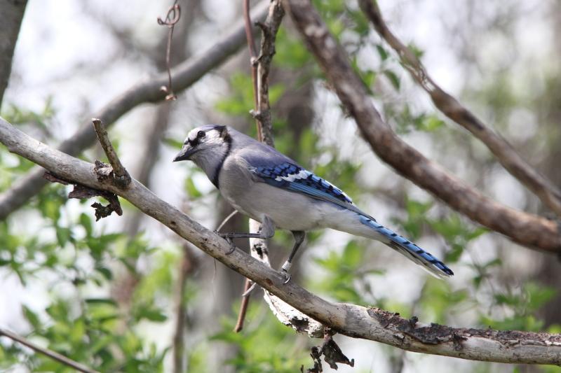 Blue Jay, Cyanocitta cristata