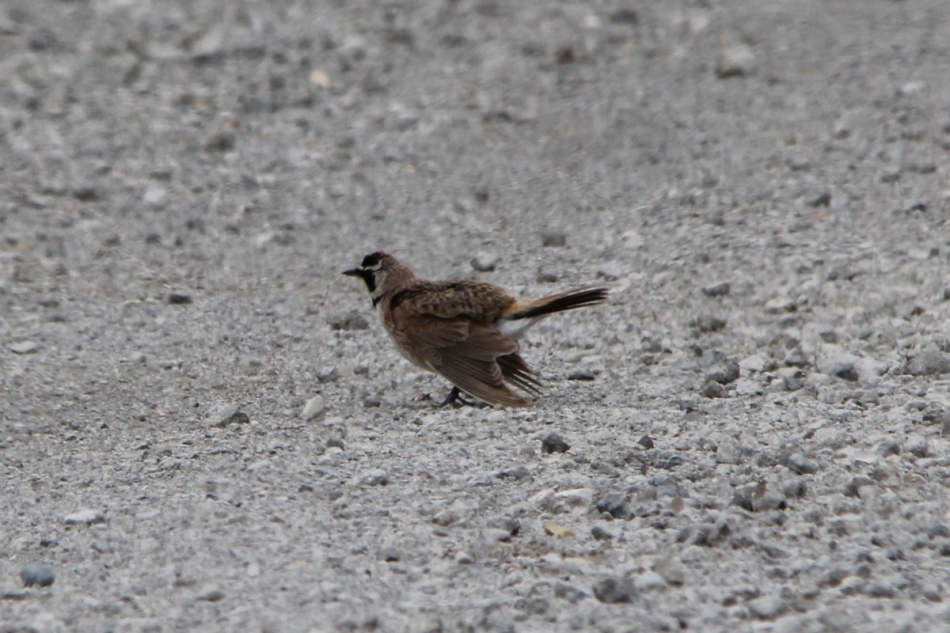 Horned lark doing the injured wing routine