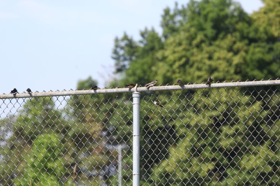 Swallows taking a break