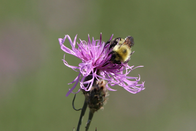 Knapweed and bee