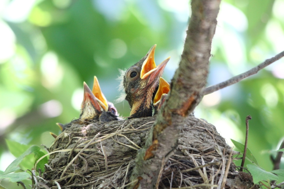 Juvenile American Robins