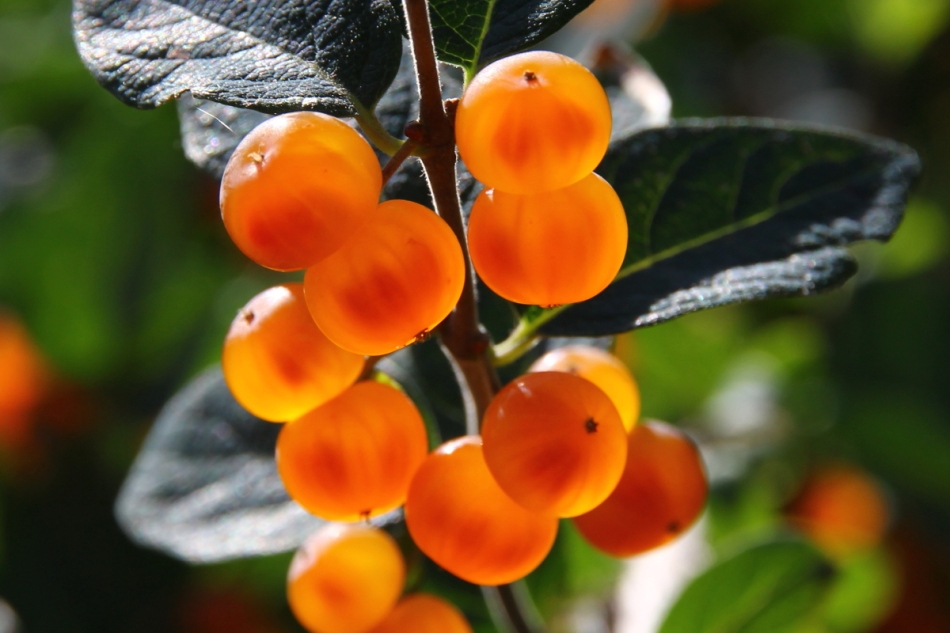 Orange berries