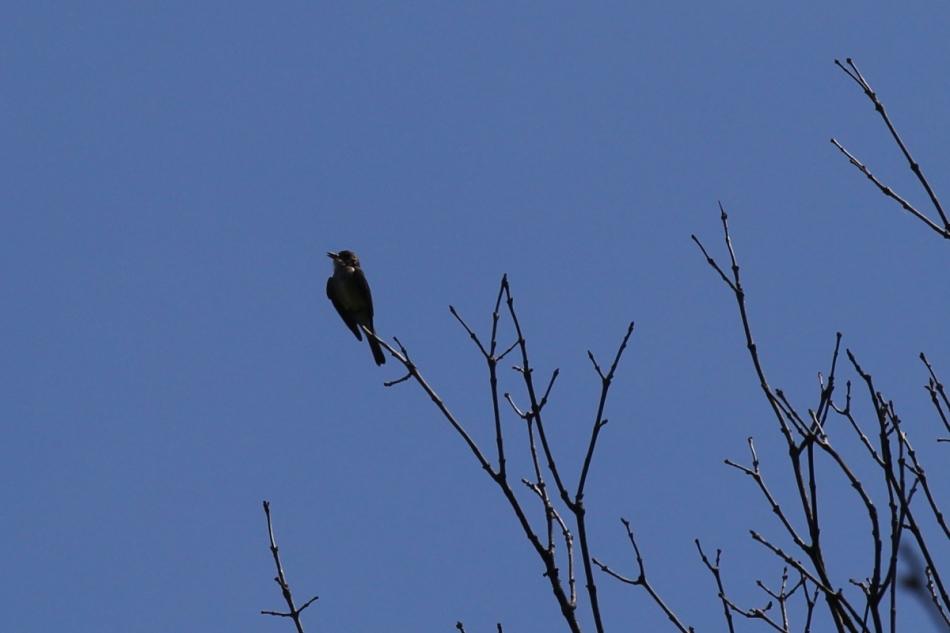 Eastern wood pewee singing