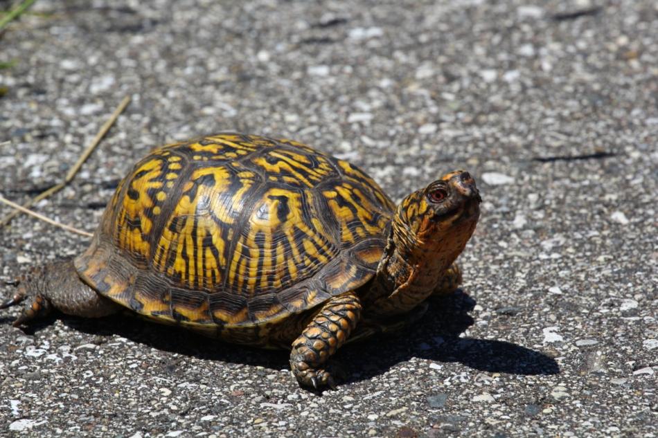 Male Eastern box turtle