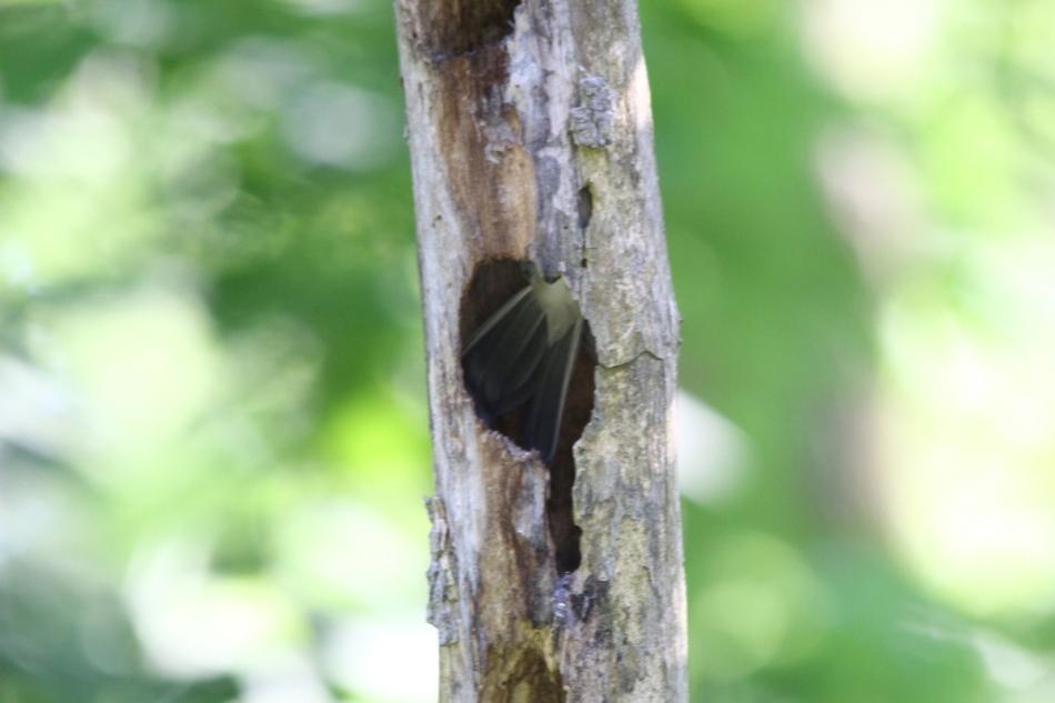 Black capped chickadee's tail