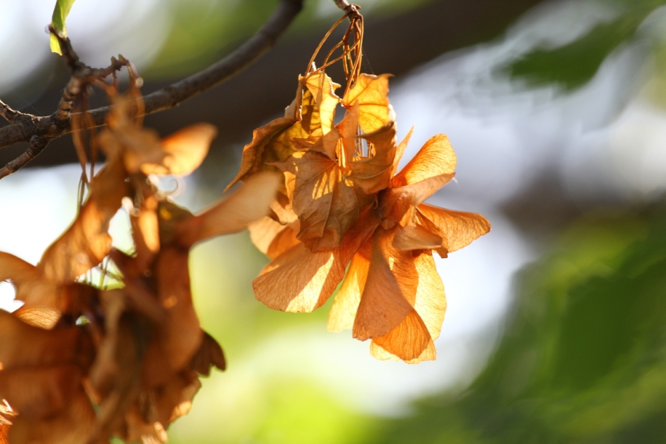 Maple seeds in the sun