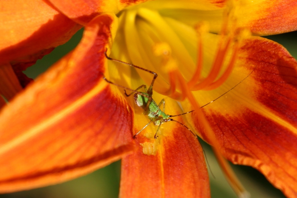 Tiger lily and visitor