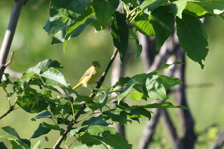 Female yellow warbler