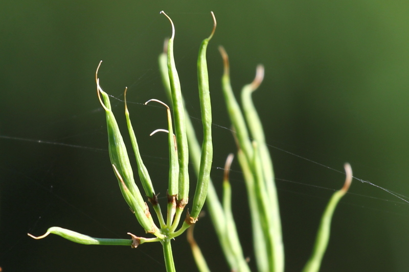 Crown vetch seed pods