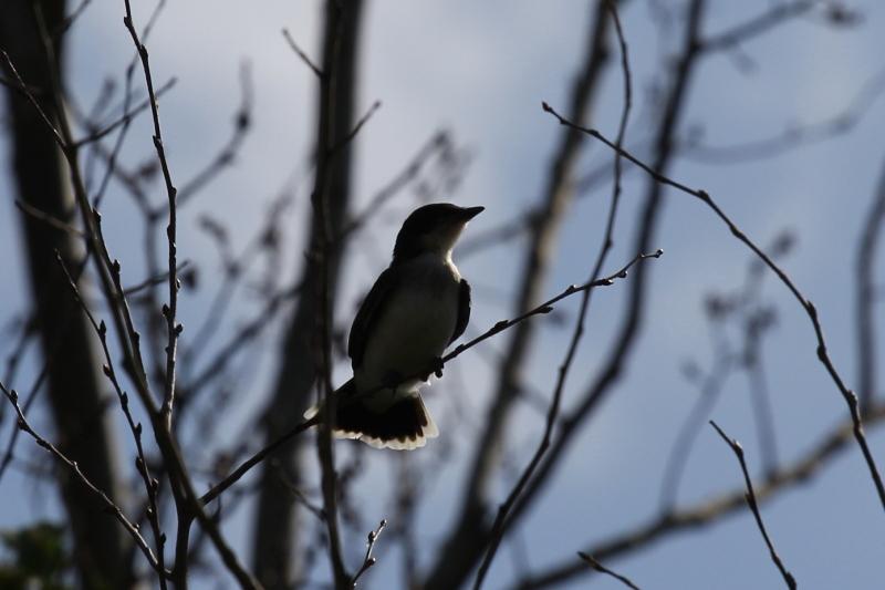 Juvenile eastern kingbird