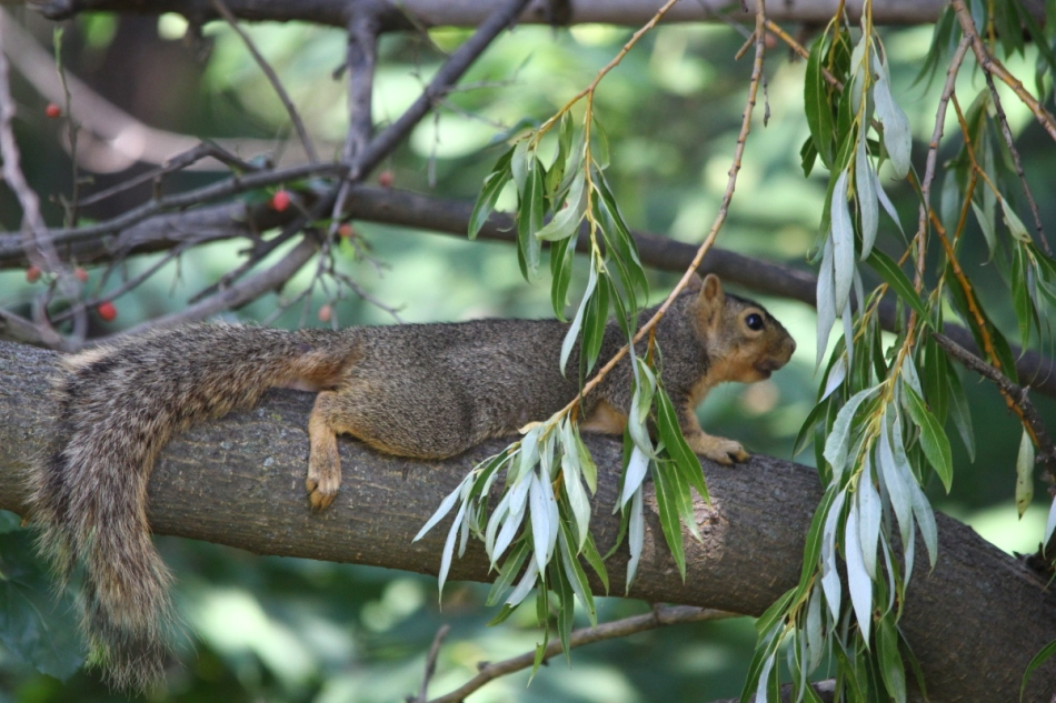 Fox squirrel staying cool