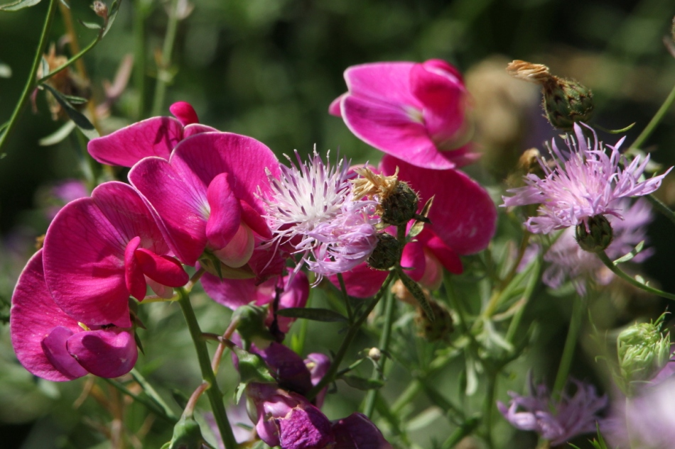 Sweat pea and knapweed